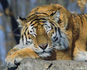 siberian_tiger-1280x1024